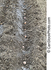 Planting potatoes in the garden. Potatoes in the furrow.