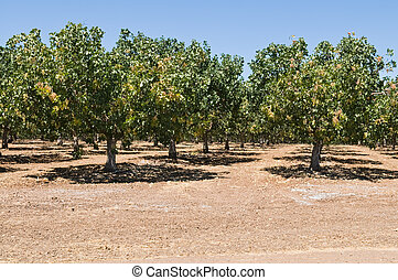 Pistachios - Rows of pistachio nut trees