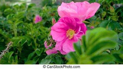 Wild rose flower. UltraHD (4K)