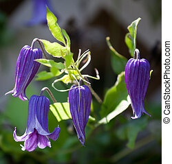 Purple clematis - Close up of four clematis flowers backlit...