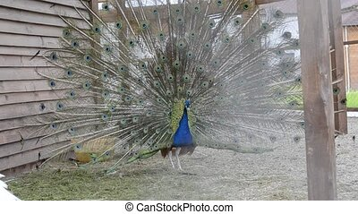 Peacock spread its magnificent tail, performs a mating dance...