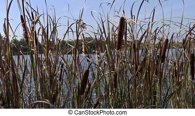 Reeds at the lake moves in the wind