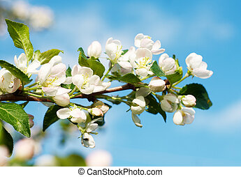 Flowering branch of apple at spring time, closeup.