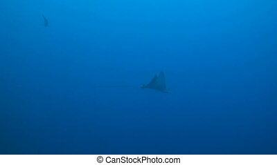 Eagle ray in blue water - Eagle ray swims in blue water