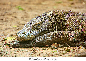 Portrait of Komodo dragon resting on Rinca Island in Komodo...
