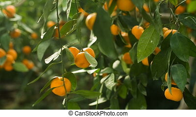 Fresh Tangerines on a tree - Ripe tangerines on a tree at...
