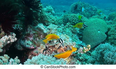 Foxface rabbitfish - The foxface rabbitfish (Siganus...
