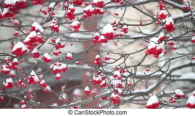 Bunches of red mountain ash under the white snow - Bunches...