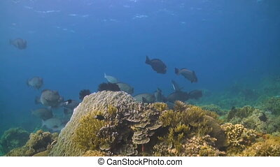 Humphead parrotfish - The largest of all parrotfish, the...