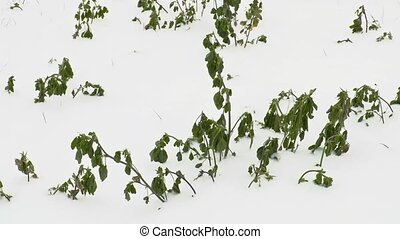 Green plants under the snow