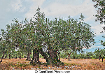 old olive tree growing in Umbria, Italy - very ancient olive...
