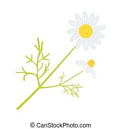 Chamomile - Vector chamomile in flat style on white...
