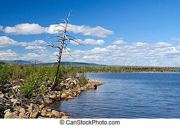 Dead pine - Dead tree on coast of lake Summer