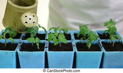 Watering tomato seedlings after transplanting into individual pots