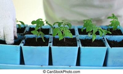 Transplanting tomato seedlings into individual pots