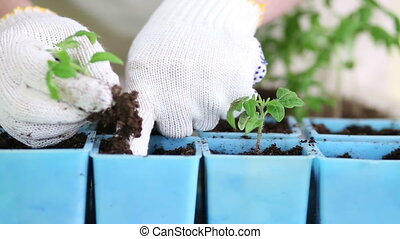 Transplanting tomato seedlings into individual pots -...