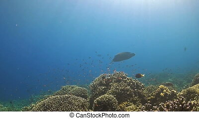 A Coral reef with a Napoleon wrasse - Napoleon wrasse on a...