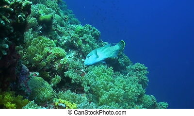 A Coral reef with a Napoleon wrasse