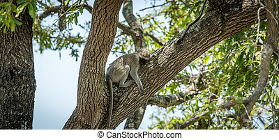 Sleeping Vervet monkey in the Kruger National Park, South...