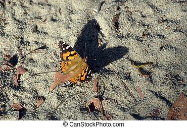 Australian Painted Lady Butterfly, Vanessa kershawi, casting...