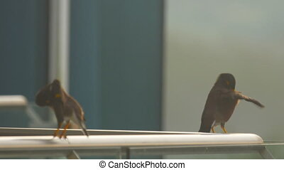 Two Common Myna birds (Acridotheres tristis) perching and...