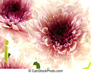 beautiful chrysanthemums pink flowers bouquet