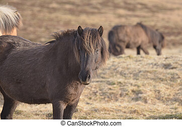 Gorgeous Icelandic Horse in a Field