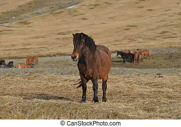 Icelandic Horse Farm - Dark bay Icelandic horse farm in...