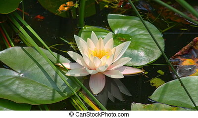 white water Lily on the water.