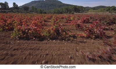 Sliding camera over vineyard rows in autumn - Vineyard rows...