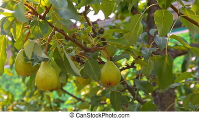 ripe pear hanging on the tree