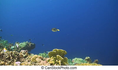 Blackspotted pufferfish - Arothron nigropunctatus is a small...