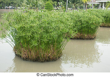 sedge plant growing in the pond
