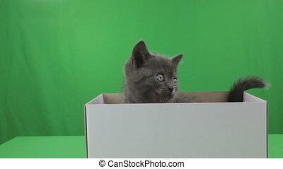Beautiful little kitten Scottish Fold in box on Green...