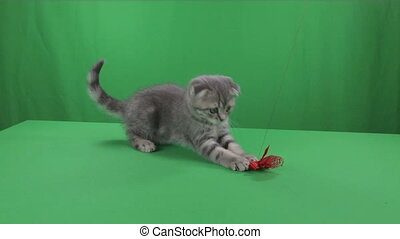 Beautiful little kitten Scottish Fold on Green Screen. -...