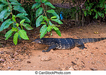 Water monitor lizard or Varanus salvator in wild