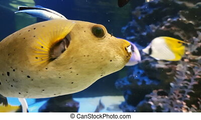 Tetraodon is a genus in the pufferfish family - Tetraodon in...