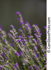 A stock photograph of lavender in the sunlight