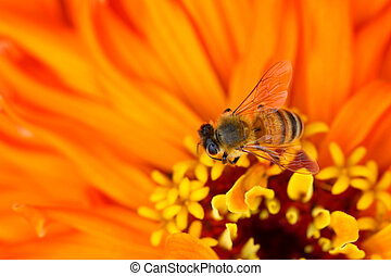 Bee and Zinnia flower - Macro shot of tiny bee on Zinnia...