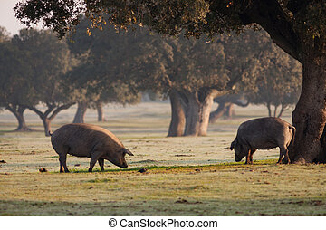 Iberian pigs grazing in the landscape - Iberian pigs grazing...