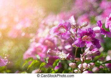 Pink Trumpet Vine in garden - Pink Trumpet Vine or...