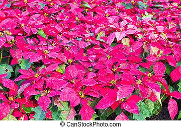 Euphorbia pulcherrima in garden - Poinsettia flowers or...