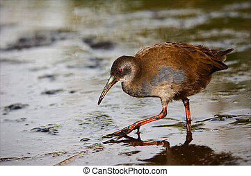 The Virginia Rail. (Rallus limicola) - Portrait of a bird...