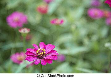 zinnia - pink zinnia blooming in garden