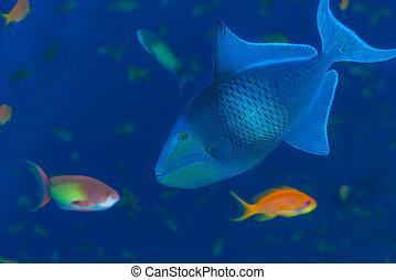 Wild triggerfish underwater - Wild redtooth triggerfish...