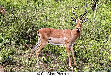 Male Impala Antelope in South African Bush - Single mature...