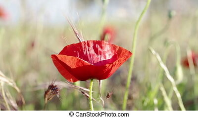 Poppy flower close up in wind. - Poppy flower close up in...