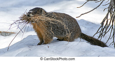 Yellow-bellied Marmot - Marmota flaviventris -...