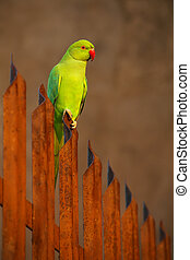 Rose-ringed parakeet sitting on a fence in Agra Fort, India...
