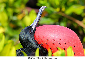 Portrait of male Great Frigatebird (Fregata minor) on...